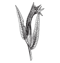 Willow leaves rolled by a caterpillar vintage vector