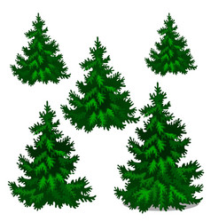 Set stages growing spruce or christmas vector