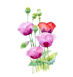 Beautiful watercolor blooming poppy flowers vector