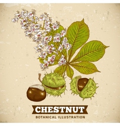 Blossom Chestnut Botanical vector