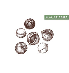 Macadamia hand drawn healthy food drawing vector