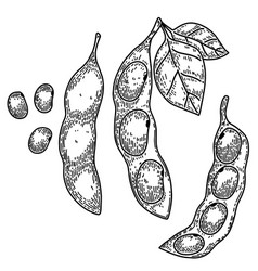 soybeans soya bean pods in engraving style design vector image