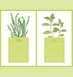 thyme and sage spices set vector image
