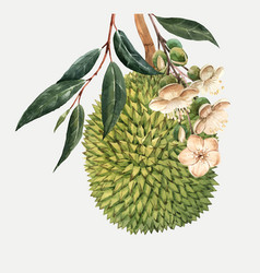 Watercolor durian fruit vector