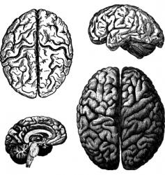 brain illustrations vector image
