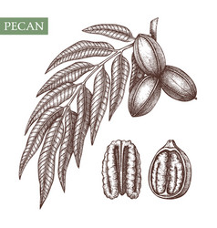 Pecan hand drawn food drawing nut trees vector