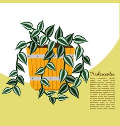 tradescantia plant in pot banner vector image