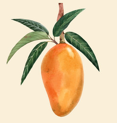 watercolor mango fruit vector image