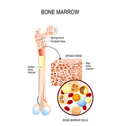 Bone marrow yellow red and blood cells vector