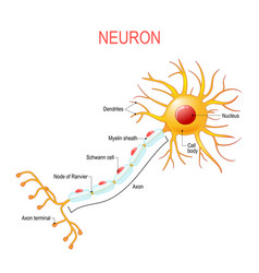 Neuron anatomy structure a nerve cell vector