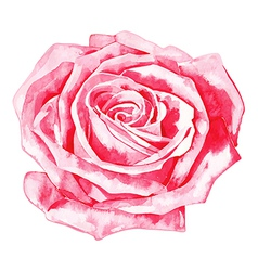 Hand draw watercolor painting of pink rose vector
