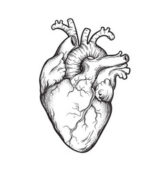 Human heart anatomically correct hand drawn vector