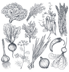 set hand drawn farm vegetables and herbs vector image