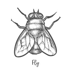 fly insect sketch or bottle housefly drawing vector image