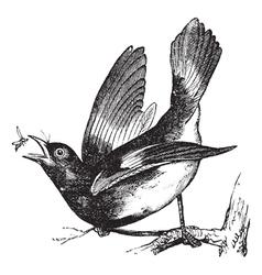 American Redstart vintage engraving vector image