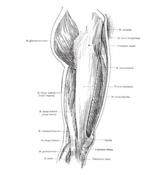 Lateral view of the superficial muscles of the vector