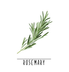 Rosemary herb and spice vector
