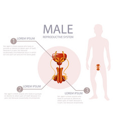 Anterior man genitals with important components vector