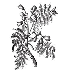 Service Tree vintage engraving vector image vector image