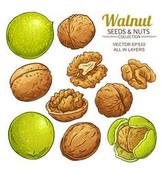 Walnut seeds set on white background vector
