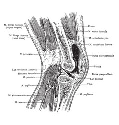 Sagittal section through knee vintage vector