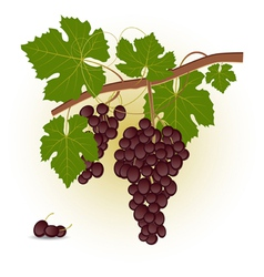 Red grape branch vector image