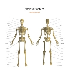 Anatomy guide of human skeleton with explanations vector image
