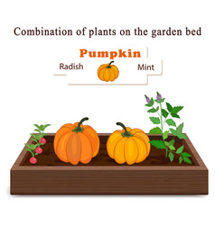 growing vegetables and plants on one bed pumpkin vector image