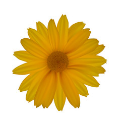 yellow daisy isolated on white background vector image