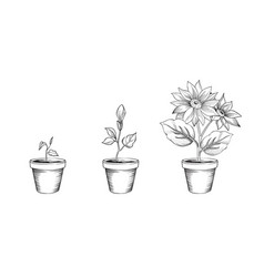 flower growth set floral pot plant bloom stages vector image