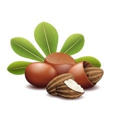 Shea nuts with green leaves vector