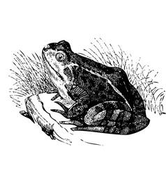 Water frog old vector