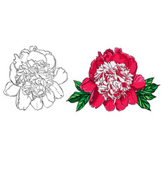 hand drawn peony flower set on vector image vector image