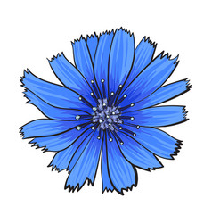 open chicory wild flower head top view sketch vector image