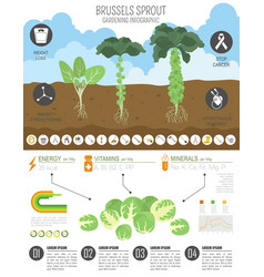 Brussels sprout cabbage beneficial features vector