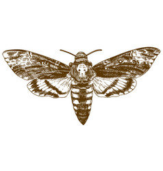 Engraving drawing of african death-head hawkmoth vector