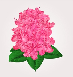 Rhododendron in bloom pink flower Mountain shrub v vector image