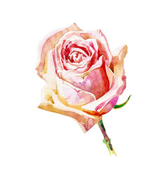 decorative hand painting of rose isolated on white vector image