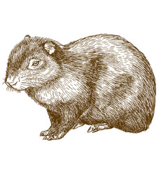engraving drawing of common agouti or sereque vector image