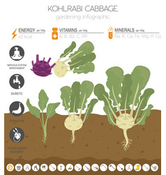 Kohlrabi cabbage turnip beneficial features vector