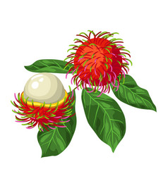rambutan isolated on white background vector image vector image