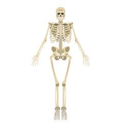 skeleton icon human skeleton front side vector image vector image