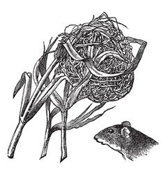 Harvest mouse nest engraving vector