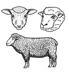 Set of the sheep isolated on white background vector