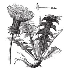 Dandelion vintage engraving vector image