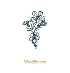 waxflower drawn sketch of vector image
