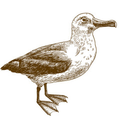 Engraving drawing of black browed albatross vector