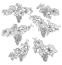 Hand drawn grape branches vector