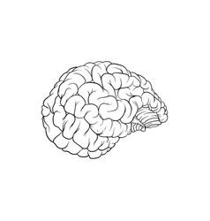 A very realistic human brain vector
