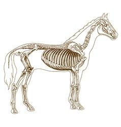 engraving skeleton horse vector image